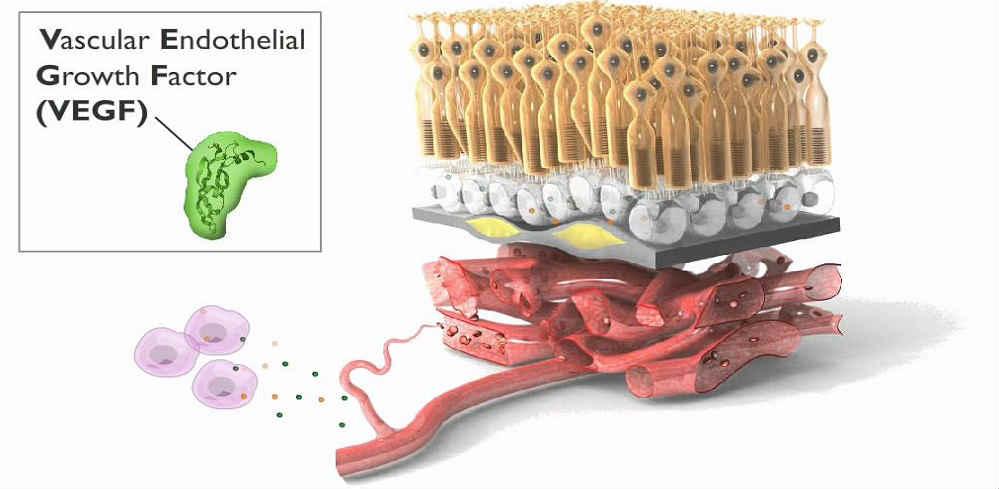 VEGF эндотелиальный фактор роста сосудов